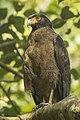 Crested-Serpent-Eagle SM.jpg
