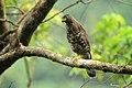 Crested goshwak -David Raju.jpg