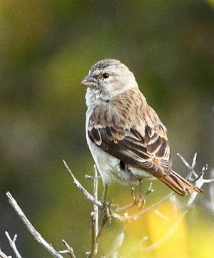 Black-headed canary - Female in Namaqua National Park, South Africa