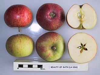 Beauty of Bath - Image: Cross section of Beauty of Bath (LA 63A), National Fruit Collection (acc. 1966 146)