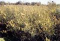 Crotalaria2.png