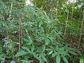 Croton zeylanicus Müll.Arg. (16006875208).jpg
