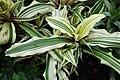Cryptanthus bromelioides var. tricolor kz01.jpg