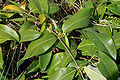Cryptolepis buchananii (Indian sarsaparilla) W IMG 3227.jpg