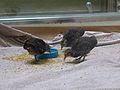 Crypturellus tataupa - Parc des oiseaux 03.JPG