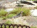 Cuban Iguana at Guantanamo.jpg