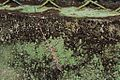 Cuban Trunk Anole (Anolis argenteolus) (8597924560).jpg