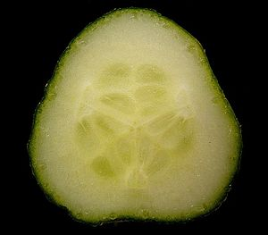 Berry (botany) - Cross-section of a cucumber pepo (Cucumis sativus)