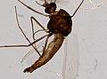 Culicidae (YPM IZ 098574).jpeg