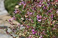 Cuphea rosea Plum Mist 3zz.jpg
