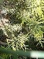 Cupressus macrocarpa 'Goldcrest' at Akola, Maharashtra, India2.jpg