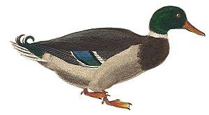 Bird - 60 px