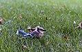 Cyanocitta cristata in my yard 3.jpg