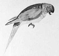 Cyanoramphus zealandicus