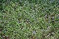 Cyanotis fasciculata (Nilwanti) in Hyderabad, AP W IMG 9981.jpg