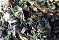 Cycas circinalis 0zz.jpg