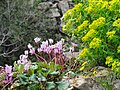 Cyclamen on the cliff - panoramio.jpg