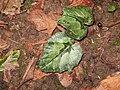 Cyclamen pseudibericum leaves4.jpg
