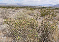 Cylindropuntia ramosissima 12.jpg