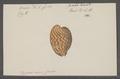 Cypraea mus junior - - Print - Iconographia Zoologica - Special Collections University of Amsterdam - UBAINV0274 088 02 0006.tif