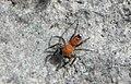 Cyrba algerina (male) עכביש קפצן.jpg