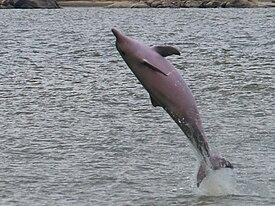 белый дельфин фото