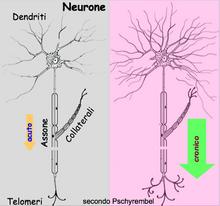 """Sprouting (=""""gemmazione"""" delle terminazioni nervose) • VULVODINIA.INFO 220px-DN1_3CronifLimbica"""