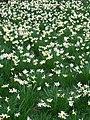 Daffodils 06.jpg