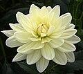 """Dahlia - """"Cameo"""" cultivar.jpg"""