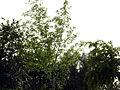 Dalbergia sissoo tree in Bhoodha Ka Bas.JPG