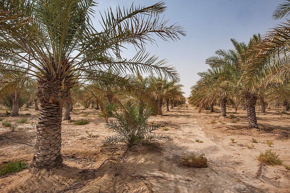 Date palm plantation in southern Qatar