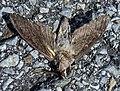 Dead lepidoptera.jpg