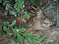 Dead roe deer near the road, Burgundy, France.JPG