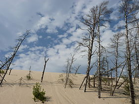 Dead trees in Słowiński National Park 06.JPG