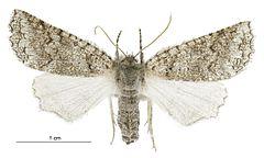 240px declana niveata female