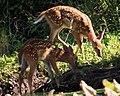 Deer (4736407187).jpg