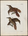 Dendrocolaptes giganteus - 1820-1860 - Print - Iconographia Zoologica - Special Collections University of Amsterdam - UBA01 IZ19200211.tif