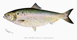 American shad - Watercolor of an American shad by Sherman F. Denton, 1904. The swelling between the anal fin and ventral fin identifies this as a gravid female.