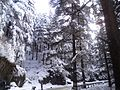 Deodar trees covered with snow.jpg
