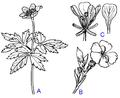 Dialypetalous corolla.png