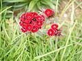 Dianthus ¿ barbatus ? (6369594861).jpg