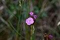 Dianthus carthusianorum pann. 01.jpg