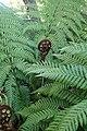 Dicksonia squarrosa kz09.jpg