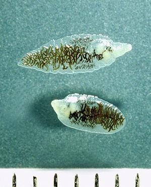 Dicrocoelium dendriticum - Image: Dicrocoelium adult fresh