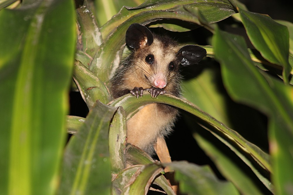 The average litter size of a Big-eared opossum is 6