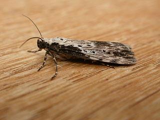 <i>Digama</i> Genus of moths