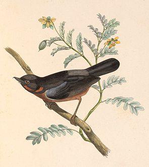 Diglossa brunneiventris 1849.jpg