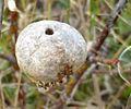 Diplolepis mayri (Cynipidae) - (gall), Vlieland, the Netherlands - 2.jpg