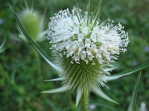 Dipsacus laciniatus flowers