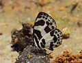 Discolampa ethion – Banded Blue Pierrot 12.JPG